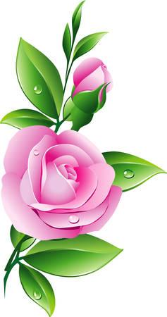 buisson: Rose rose  Illustration