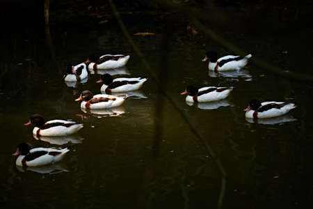 bevy: A group of wild ducks