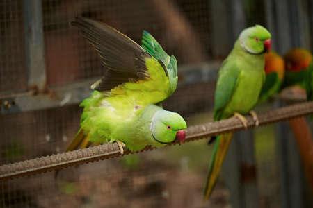 two parrots: Parrot