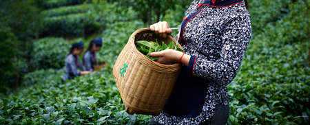 Picking tea leaves