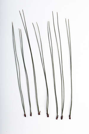 Pine needles Imagens