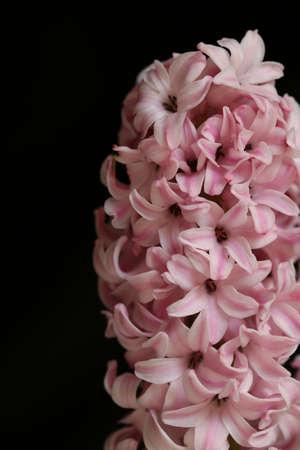 hyacinth: Hyacinth Stock Photo