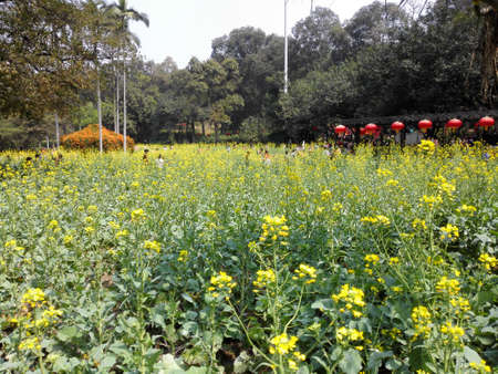 canola: canola flower field Editorial