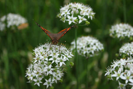 onion flowers: Welsh onion flowers and butterfly