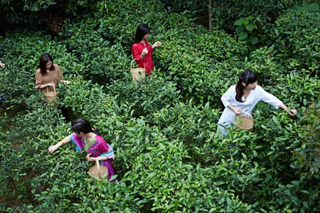 fall protection: Picking tea leaves