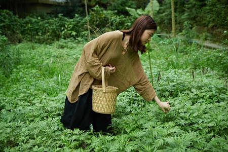 picking: Picking Mugwort