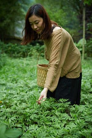 Picking Mugwort
