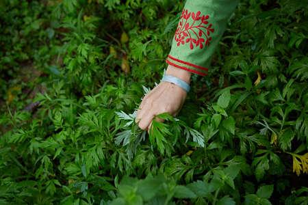 moxibustion: Picking Artemisia argyi