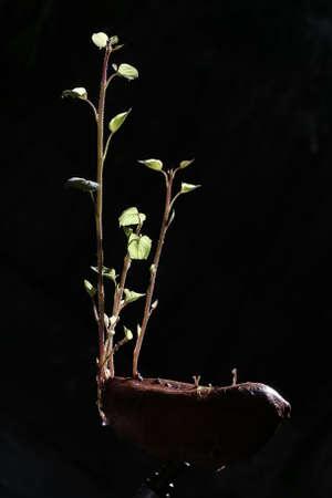 germinación: Germination of sweet potato plant