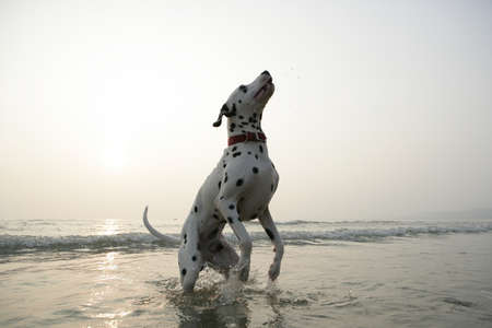 spotted dog: Spotted dog in sea water Stock Photo