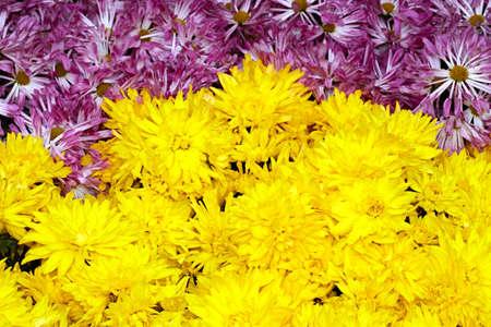 Chrysanthemum cluster
