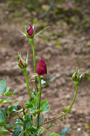 relying: Rosebud Stock Photo
