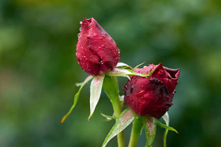 Two rose buds