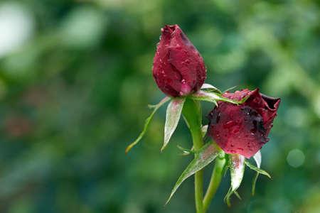 Companion rose Stock Photo