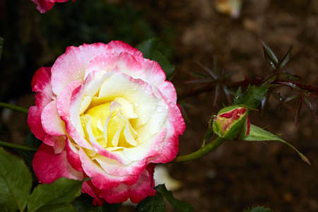 Blooming roses and buds Stock Photo