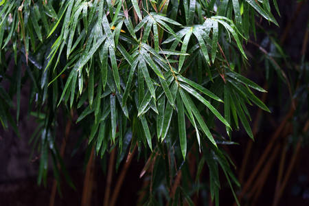 Bamboo leaves after rain