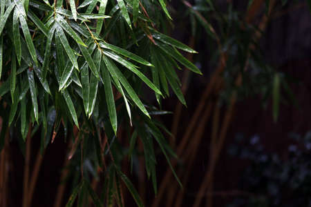 Close up view of bamboo leaves on dark background