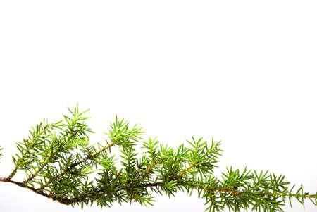 a juniper: Rama de enebro aislado en blanco