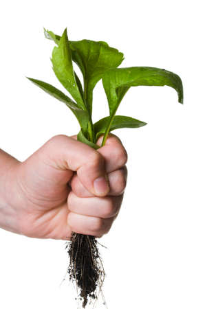 A hand holding a weed with roots isolated on white