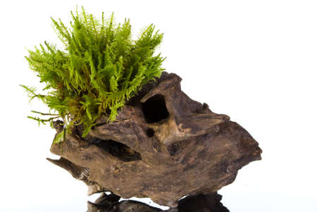 Moss on a wooden stump isolated on white Stock Photo