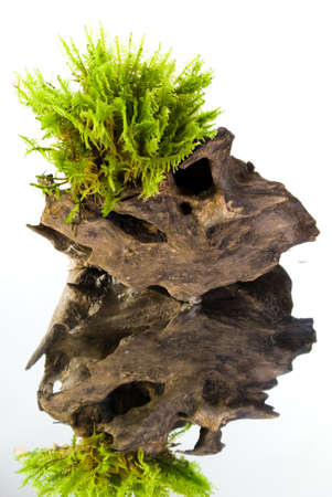 Moss on a wooden stump with reflection on white