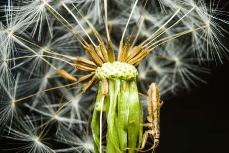 Close up of dandelion and insect on its photo