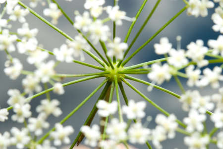 branchy: Branchy plant with blossoms, focus on stem