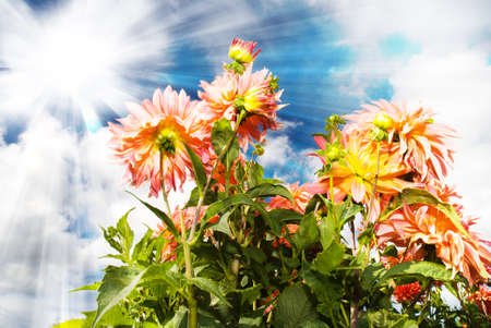 Beautiful Dahlia flower blossoms in sunrays