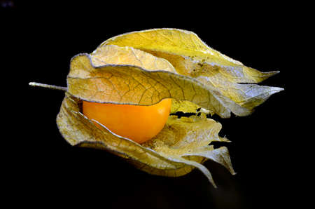 Physalis (Winter cherry)  on black background