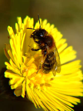 insecta: bee