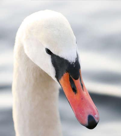 head swan
