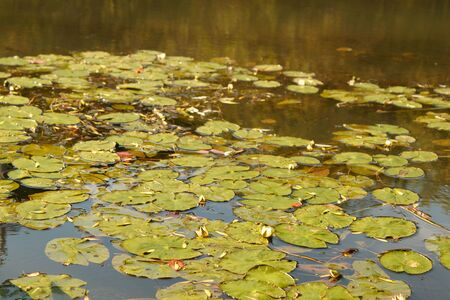 aquatic herb: Dismissed flowers and water-lily leaves (Nymphaea)