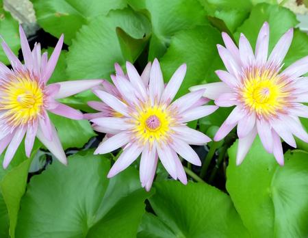 triple: Triple Lotus Stock Photo