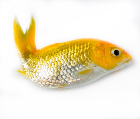 Gold fish in white background photo