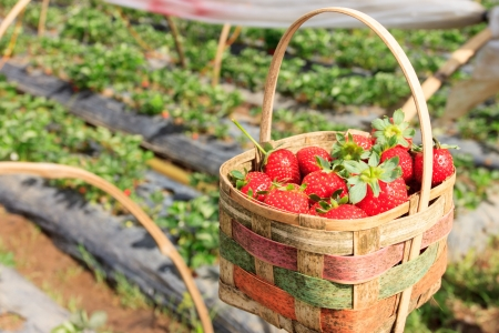 picked: Fresh strawberry in a basket Stock Photo