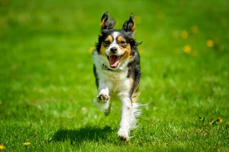 Running tri-color dog on a grassy meadow