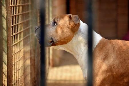 Dog (pitbull) behind bars of a shelter
