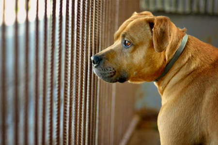 The dog pitbull is waiting in the shelter in the pen behind bars for the new owner
