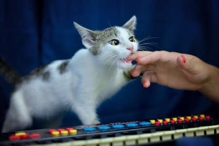 Portrait of white tabby cat standing on piano on blue background.