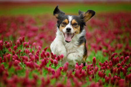 Amazing cute tricolor dog running in the blossom red clover.