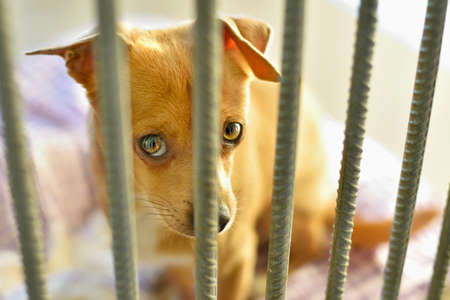 Sad chihuahua dog in a shelter in a pen behind bars