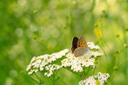lycaena: Butterfly on Flower  Bronze Copper  Lycaena hyllus Stock Photo