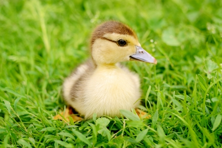 yellow duckling: Fluffy yellow duckling sitting on green grass