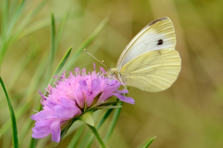 Butterfly on Flower  Cabbage Butterfly  Pieris brassicae Stock Photo - 14591761