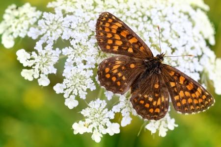 Butterfly on Flower  Melitaea britomartis photo