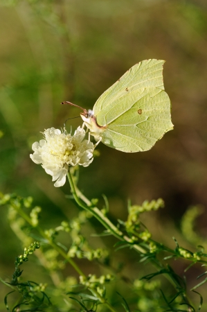 Butterfly on Flower  Brimstone  Gonepteryx  rhamni photo