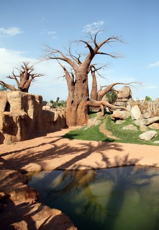 adansonia: Baobab trees in bioparc in Valencia Stock Photo