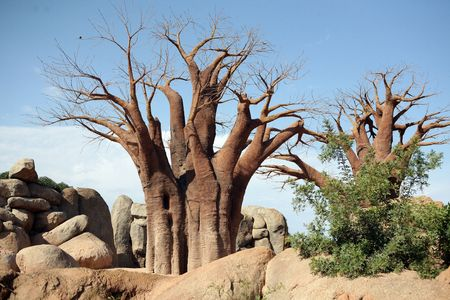 Baobab trees in bioparc in Valencia Stock Photo
