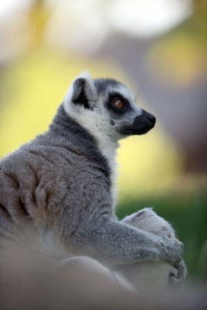 catta: Ring-tailed lemur catta