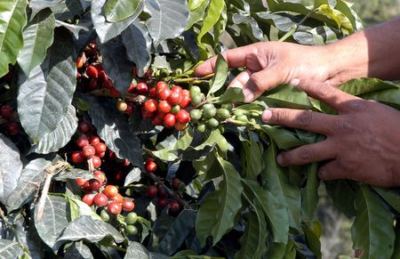 Coffee beans - Guatemala                      Stock Photo
